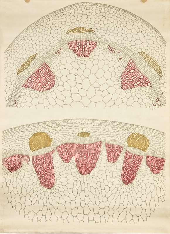 BVPB > Recursos pedagógicos > Anatomía vegetal [Gabinete de Historia ...